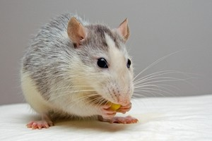 Why do mice squeak? and what to do about it.