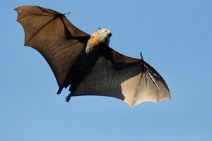 How do bats give birth? and other reproductive info