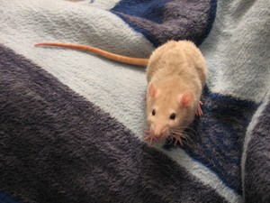 This is why rats exist and how they are beneficial
