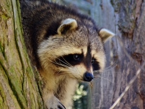 Do raccoons eat thistle seeds?